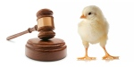 animal law and chick