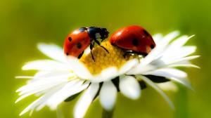 -ladybugs-